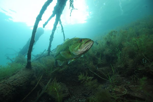 Largemouth Bass Underwater