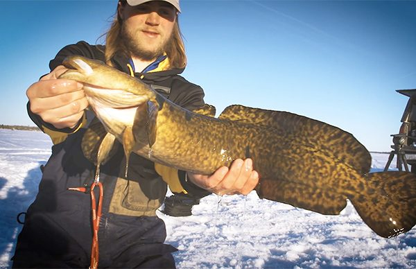 Guide with large Burbot
