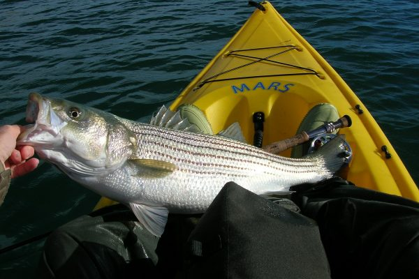Kayak Angler Lands Striped Bass