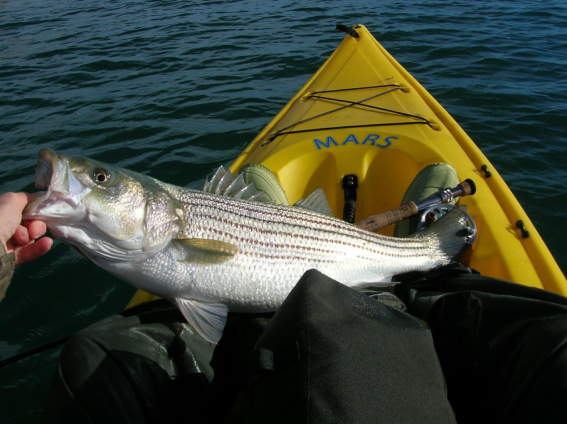 Kayak Angler Lands Striped Bass