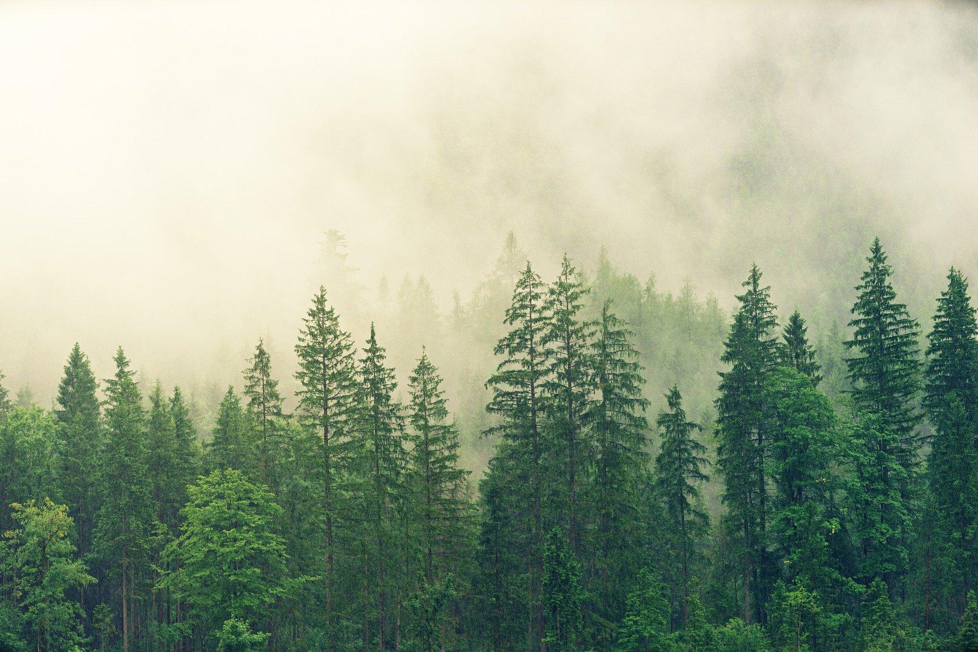Evergreens in Fog