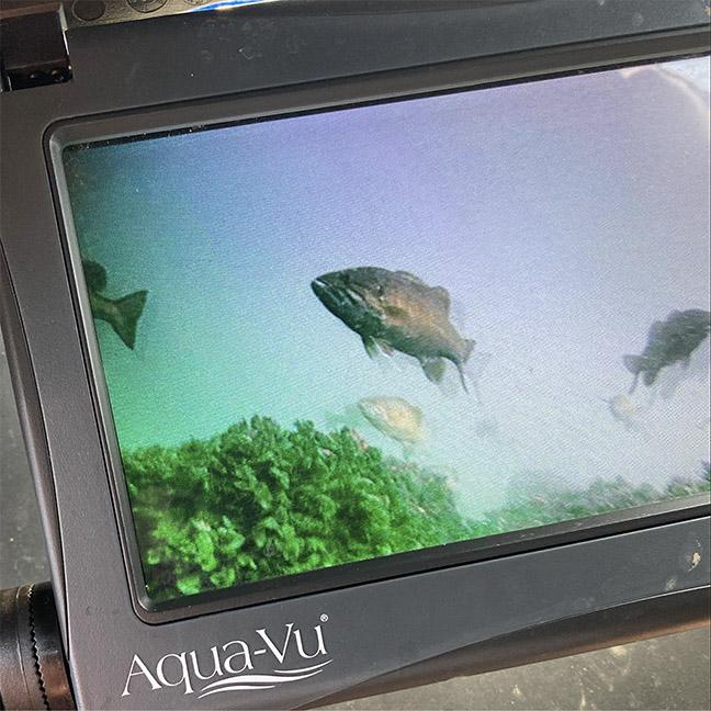 Smallmouth Bass on Underwater Camera